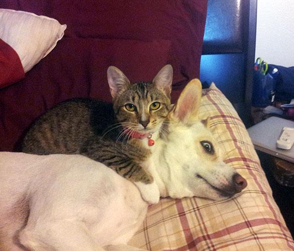 Gatos-que-usam-Cães-como-almofadas (35)
