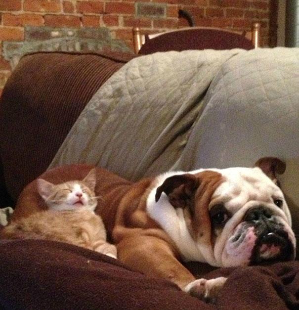 Gatos-que-usam-Cães-como-almofadas (36)