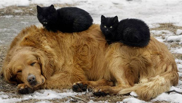 Gatos-que-usam-Cães-como-almofadas (37)