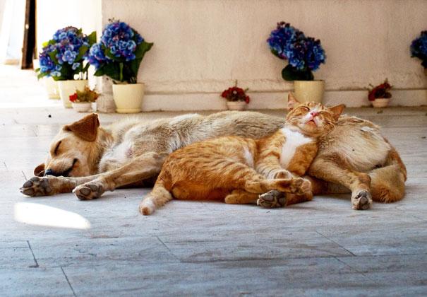 Gatos-que-usam-Cães-como-almofadas (38)