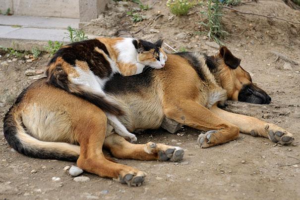 Gatos-que-usam-Cães-como-almofadas (40)