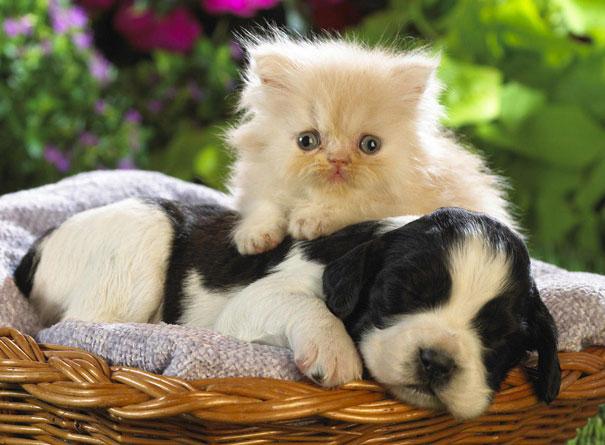 Gatos-que-usam-Cães-como-almofadas (41)