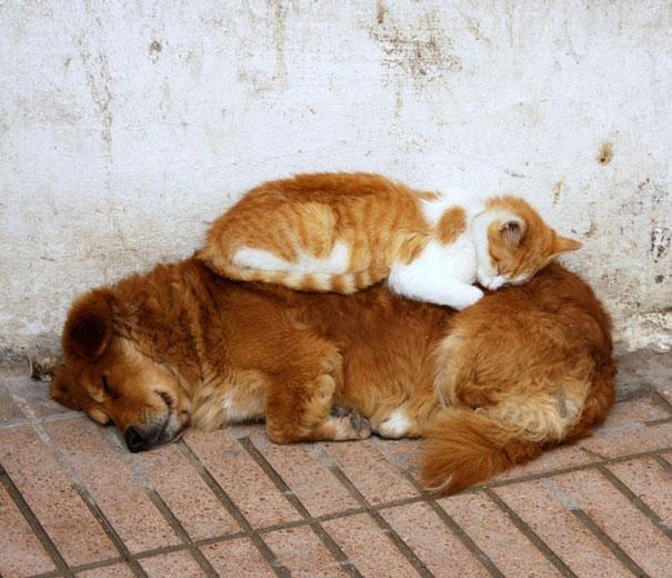 Gatos-que-usam-Cães-como-almofadas (42)