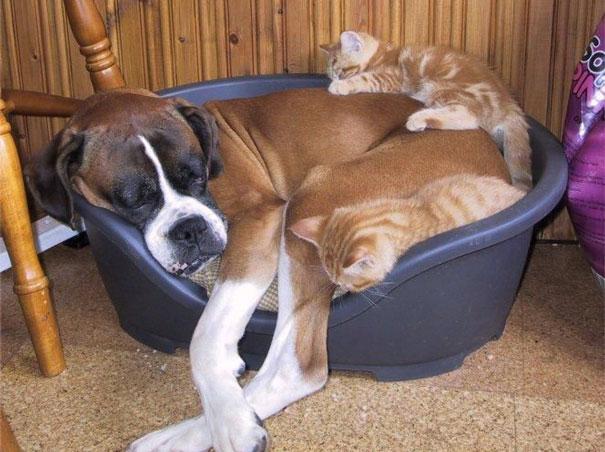 Gatos-que-usam-Cães-como-almofadas (43)