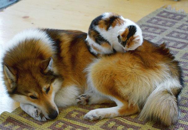 Gatos-que-usam-Cães-como-almofadas (44)
