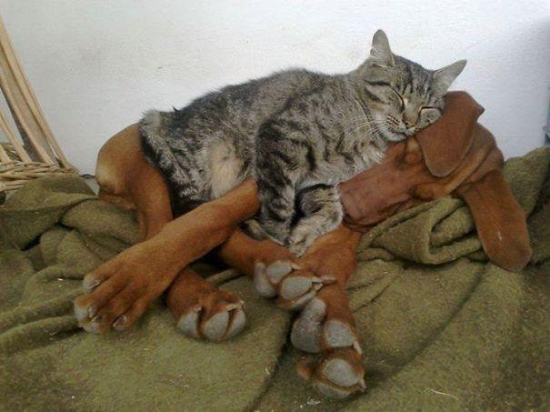 Gatos-que-usam-Cães-como-almofadas (45)