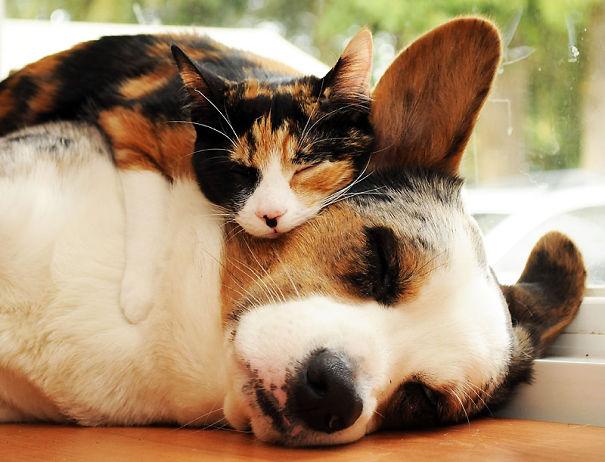 Gatos-que-usam-Cães-como-almofadas (46)