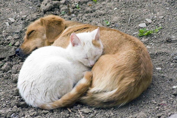 Gatos-que-usam-Cães-como-almofadas (47)