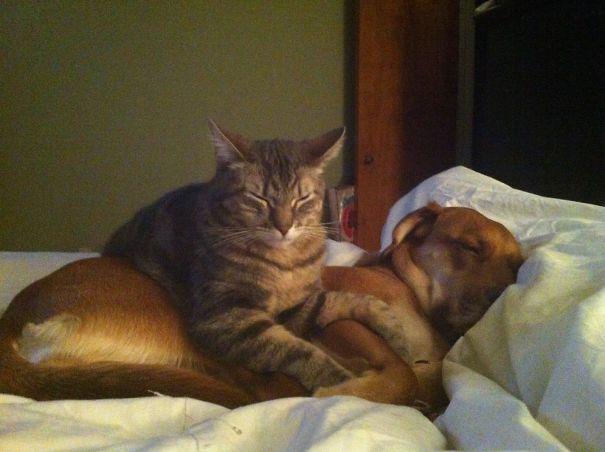 Gatos-que-usam-Cães-como-almofadas (48)