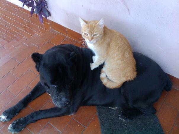 Gatos-que-usam-Cães-como-almofadas (49)