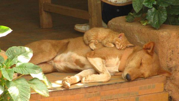Gatos-que-usam-Cães-como-almofadas (5)