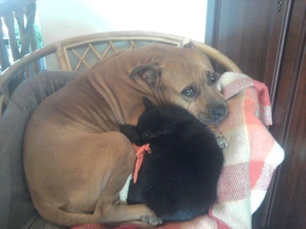 Gatos-que-usam-Cães-como-almofadas (51)