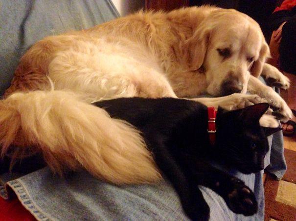 Gatos-que-usam-Cães-como-almofadas (52)