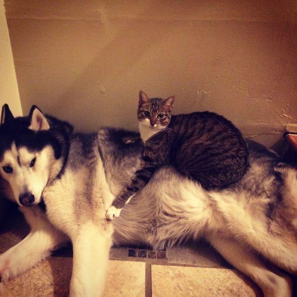 Gatos-que-usam-Cães-como-almofadas (53)
