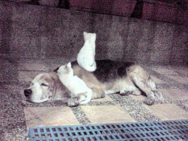 Gatos-que-usam-Cães-como-almofadas (55)