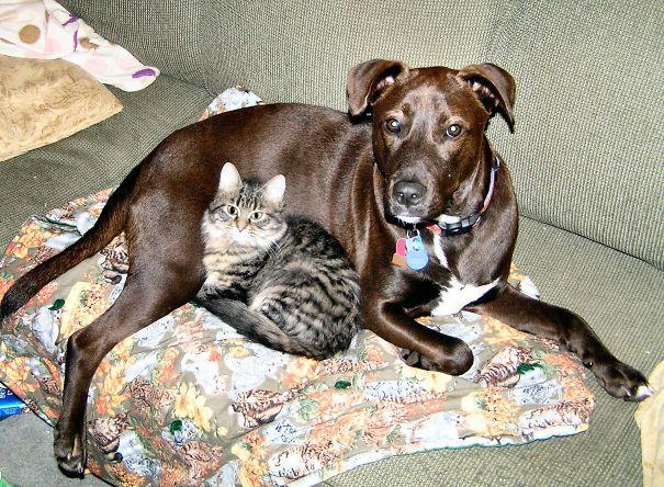 Gatos-que-usam-Cães-como-almofadas (61)