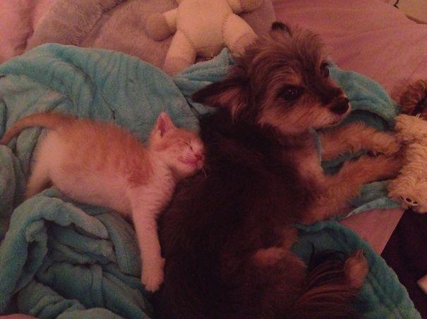 Gatos-que-usam-Cães-como-almofadas (62)