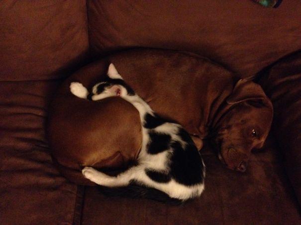 Gatos-que-usam-Cães-como-almofadas (65)