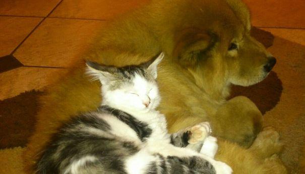 Gatos-que-usam-Cães-como-almofadas (68)
