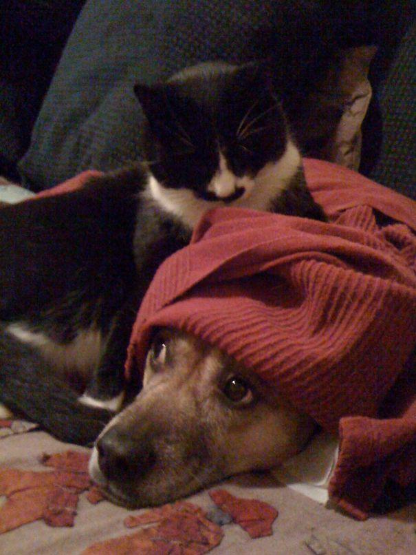 Gatos-que-usam-Cães-como-almofadas (7)