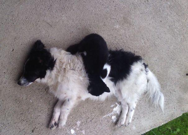 Gatos-que-usam-Cães-como-almofadas (70)