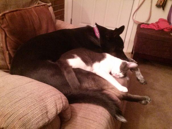 Gatos-que-usam-Cães-como-almofadas (73)