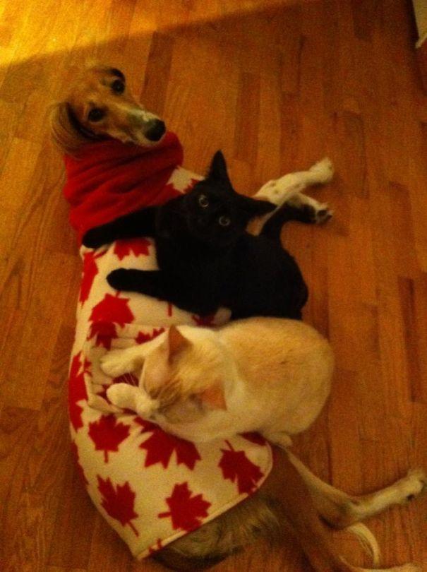 Gatos-que-usam-Cães-como-almofadas (8)