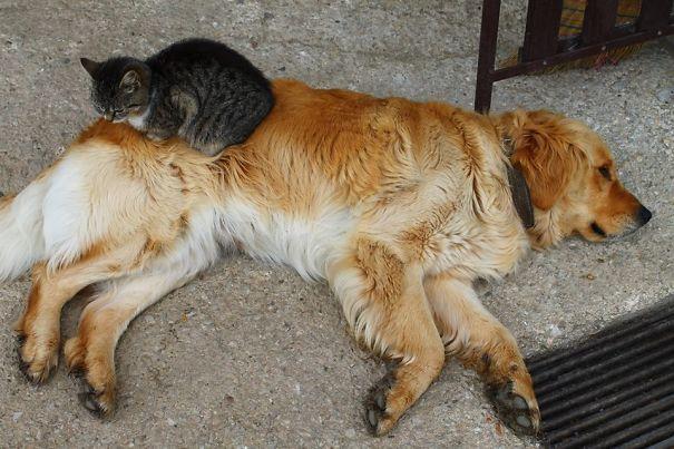 Gatos-que-usam-Cães-como-almofadas (9)