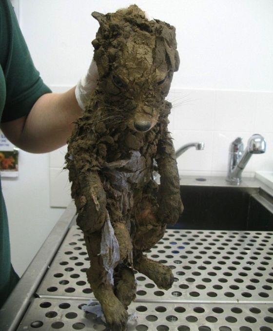 Raposa que ficou presa na lama é reabilitada (1)
