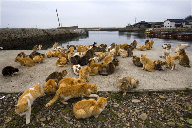 A ilha dos gatos no Japão (1)