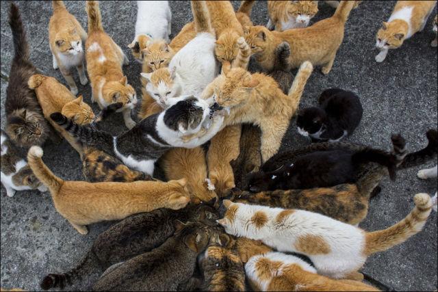 A ilha dos gatos no Japão (11)