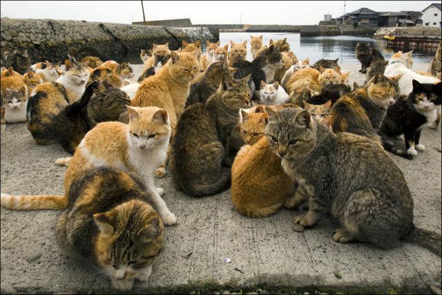 A ilha dos gatos no Japão (14)