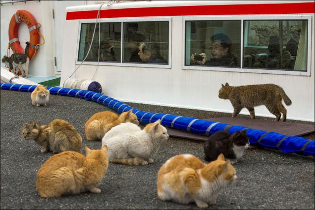 A ilha dos gatos no Japão (18)