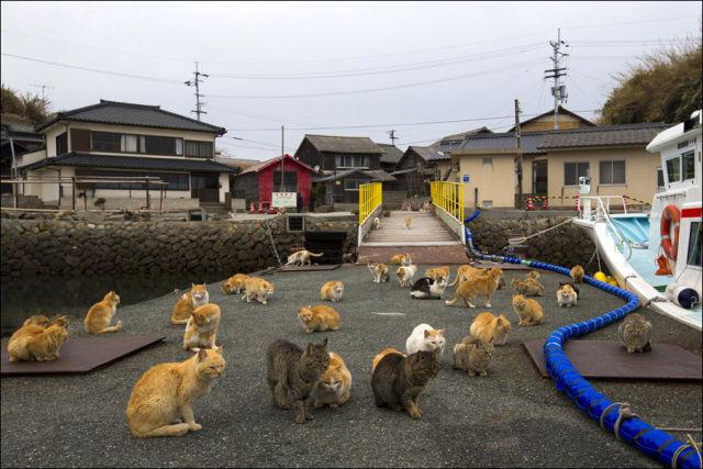 A ilha dos gatos no Japão (9)