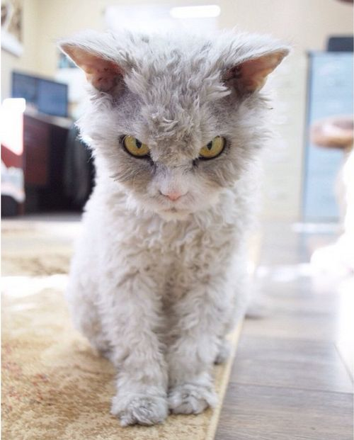 Conheça Albert, o gato mal humorado (3)