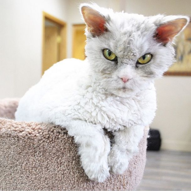 Conheça Albert, o gato mal humorado (5)
