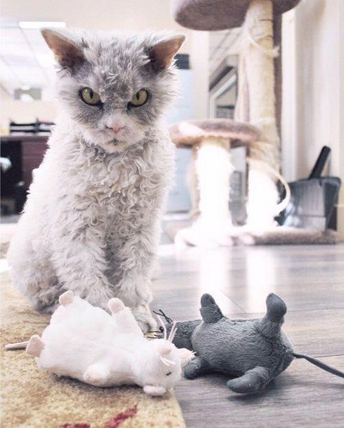 Conheça Albert, o gato mal humorado (7)