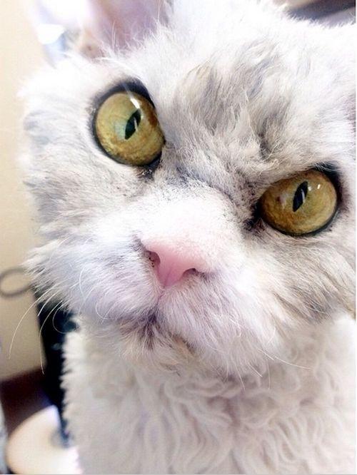 Conheça Albert, o gato mal humorado