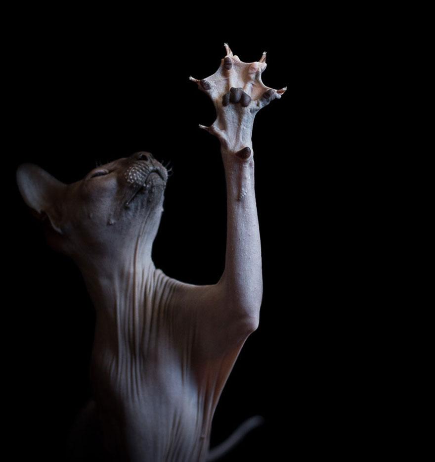 Explorando a beleza ímpar dos Gatos Sphynx  (1)