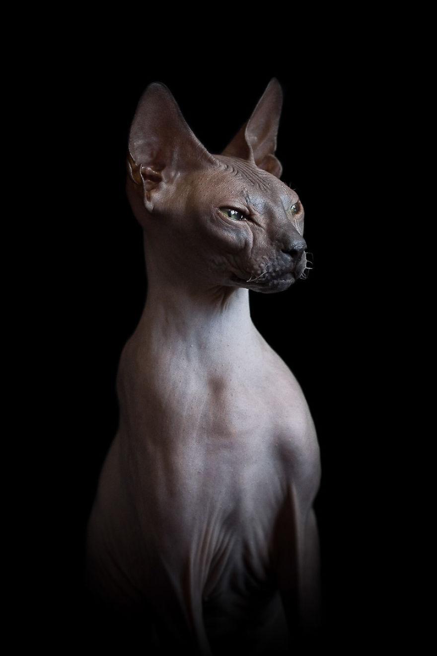 Explorando a beleza ímpar dos Gatos Sphynx  (10)