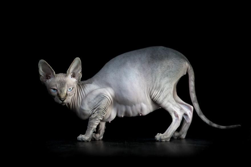 Explorando a beleza ímpar dos Gatos Sphynx  (2)