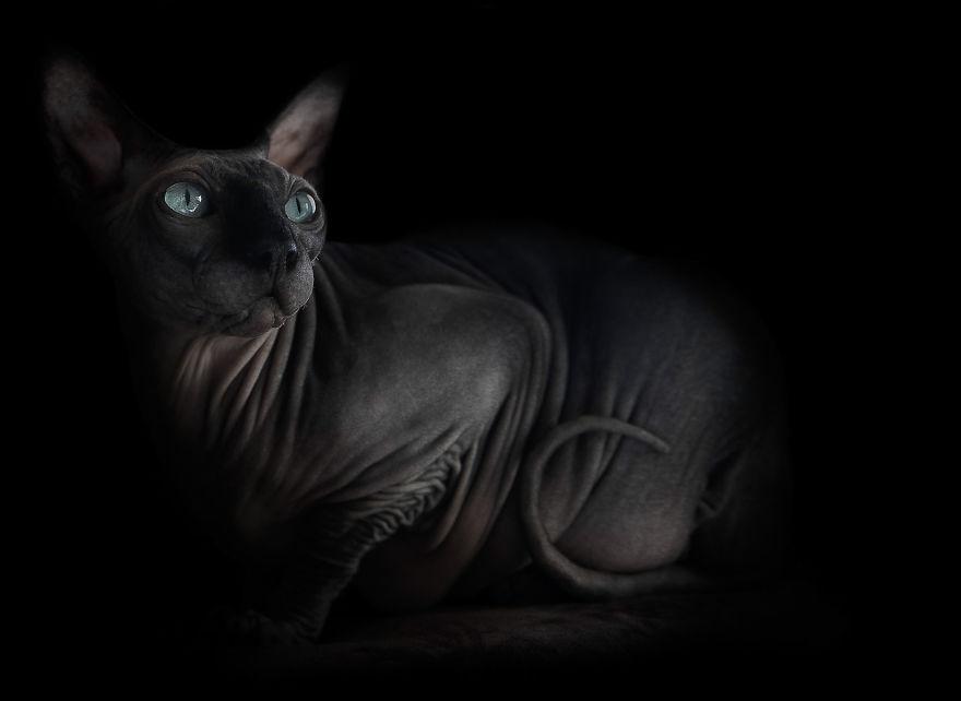 Explorando a beleza ímpar dos Gatos Sphynx  (3)