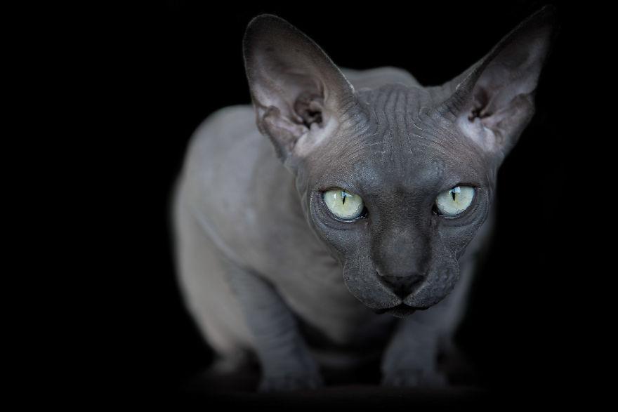 Explorando a beleza ímpar dos Gatos Sphynx  (4)