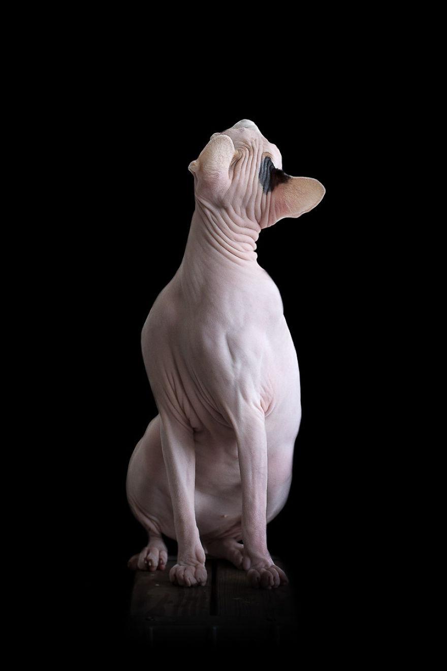 Explorando a beleza ímpar dos Gatos Sphynx  (5)