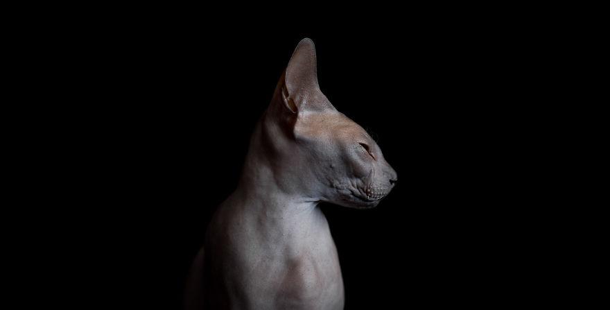 Explorando a beleza ímpar dos Gatos Sphynx  (9)