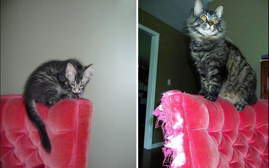 Fotos antes e depois de gatos crescendo (13)