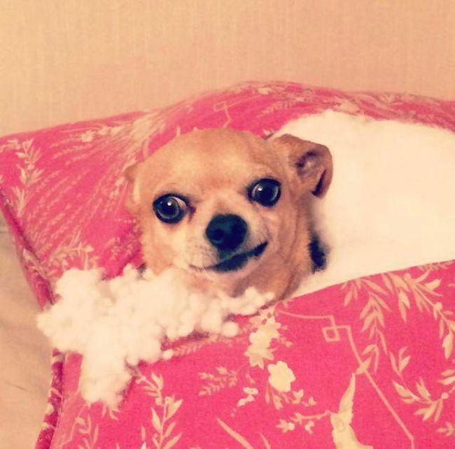 Fotos_que_provam_que_os_cachorros_também_sabem_sacanear (14)