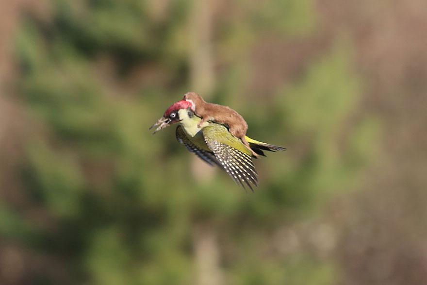 Furão pega carona nas costas de um pica-pau