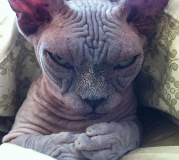 Gatos que parecem estar bolando planos diabólicos (14)