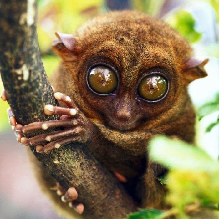 Macaco Tarsius: A criatura pequena e fofa dos olhos grandes